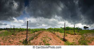 Texas Hill Country Vineyard - Cultivated grape vines in an...