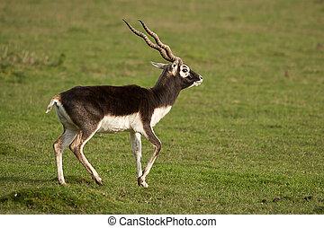Male Black Buck - strutting male black buck