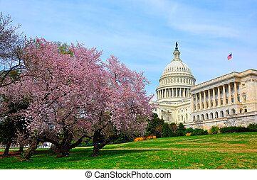 US Capitol in cherry bloom - It's peak bloom of Washington...