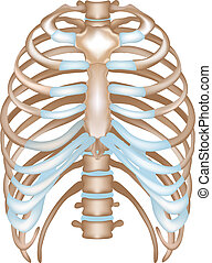 Thorax- ribs, sternum, vertebral column. Detailed medical...