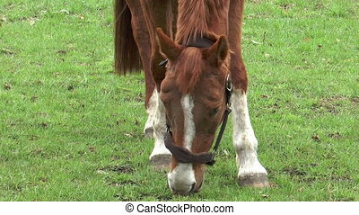horse grazing close up