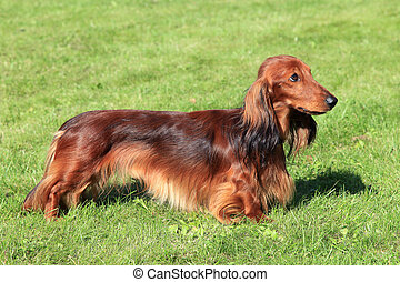 Dachshund Standard Long-haired Red dog on the green grass