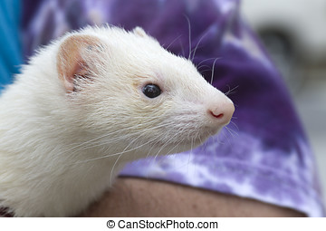 Domesticated White Ferret
