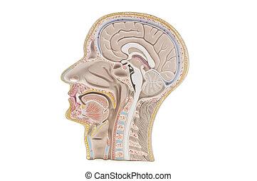 humano, cabeza, cuello