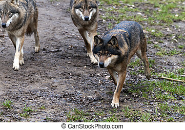 Eurasian wolf - A group of Eurasian wolves Canis lupus