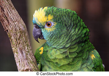 The Amazon green parrot - Portrait of The Amazon green...
