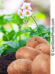 potatoes in the ground in the garden