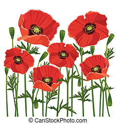 Flowers poppies isolated on white background - Flowers red...