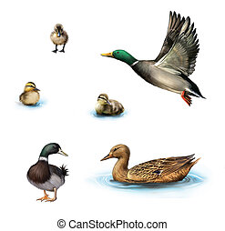 Water birds, Flying duck, duck in the water, standing male...