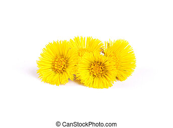 Flowers of coltsfoot