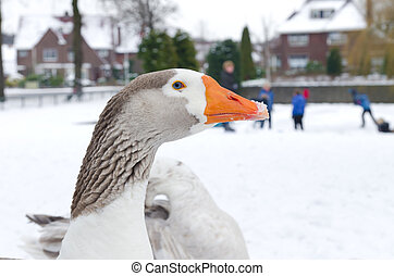 domestic goose - white domestic goose in front of a pond...