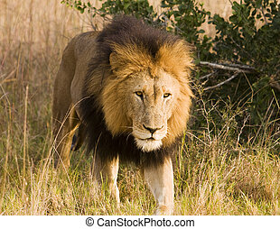 Stalking Wild Lion, On Safari - A male lion, viewed on...