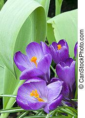 Purple Crocus Blooms in Garden - Purple Crocus plant in full...