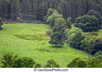 Sheep grazing on the meadow in highlands