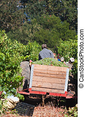 Picking grapes, Stellenbosch, South Africa - Scene from the...