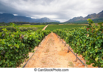Vineyard - Stellenbosch, Western Cape, South Africa -...