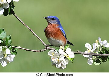 Eastern Bluebird - Male Eastern Bluebird Sialia sialis in an...