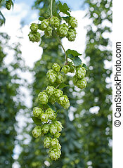 hop cones - raw material for beer production