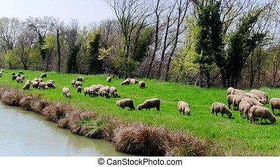 Flock sheeps grazing on the banks