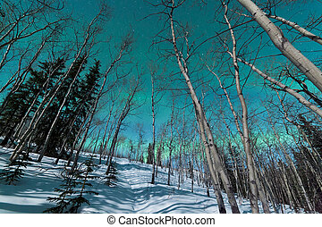 Green bands of Northern Lights over winter taiga - Green...
