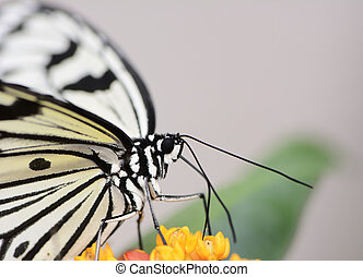 Exotic Butterfly - Tropical butterfly, the large tree nymph,...