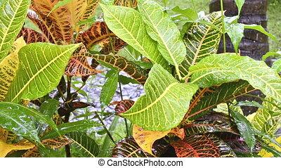 croton (Codiaeum variegatum)in rain