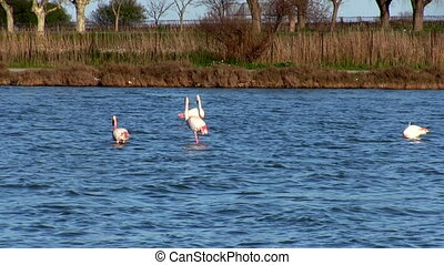 Flock of pink flamingos in lake