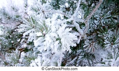 pine twig with hoarfrost