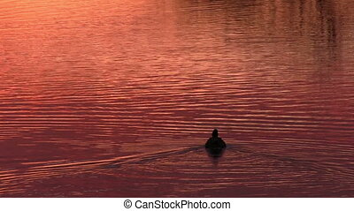 Duck floats on the surface water - Duck floats on the...