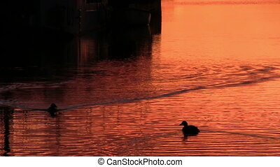 Duck floats on the surface water - Ducks floats on the...