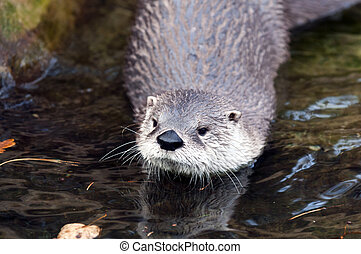 European Otter - Close-up of head of the European Otter