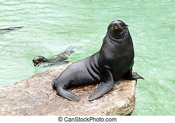Brown fur seal sitting on a rock