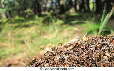 hormiga, colonia