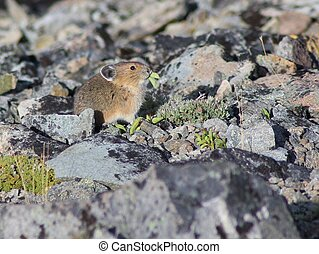 Pika on Mount Rainier - A Pika eating leaves on Mount...