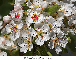 fruit flowers - beautiful white fruit blossom in the spring...