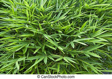 Bamboo leaves - green bamboo leaves