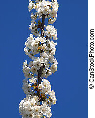 flowers - beautiful white fruit blossom in the spring