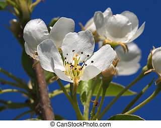 fruit flower - beautiful white fruit blossom in the spring...