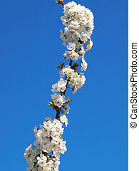fruit blossom - beautiful white fruit blossom in the spring...