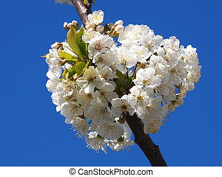 blossom - beautiful white fruit blossom in the spring