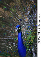 close up of indian peacock