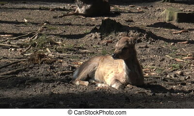 sika deer lying on the ground relaxing and scratching his fu