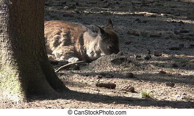 sika deer chewing at a branch