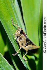 Big Grass Hopper - Close up of big grass hopper on yucca...
