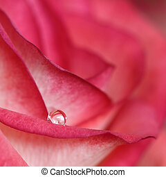 A single water drop on a red rose
