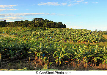 Banana Plantation - Picture of a Banana Plantation with...