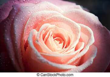 pink rose close-up - background with pale pink rose close-up...