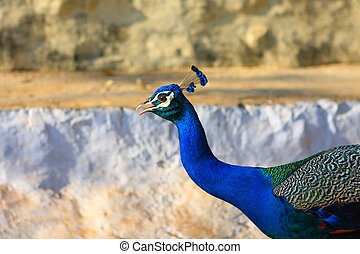 Blue Bird Indian Peafowl