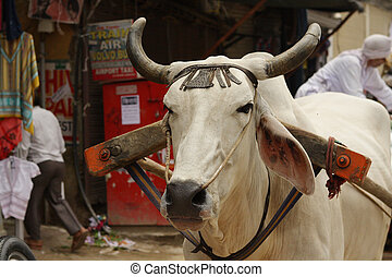 Indian white cow on a street in Delhi