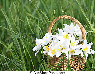 Basket of wild spring flowers windflowers - Anemone nemorosa...